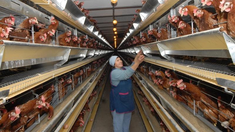 Еще один вологодский банкрот: птицефабрику «Шекснинская» продают