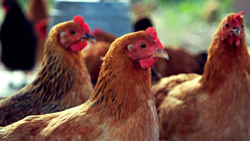 В Бабаевском районе 25-летний мужчина похитил у односельчанки куриц