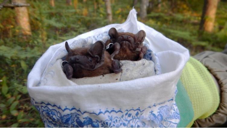 Летучие мыши Вологодчины
