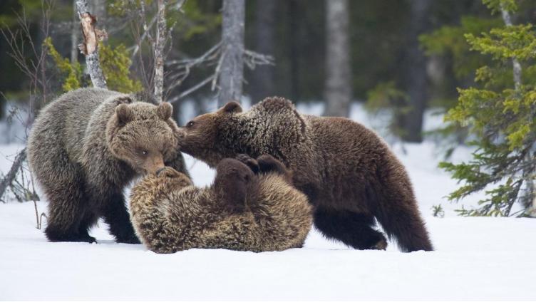 Чиновники произвели перепись медведей