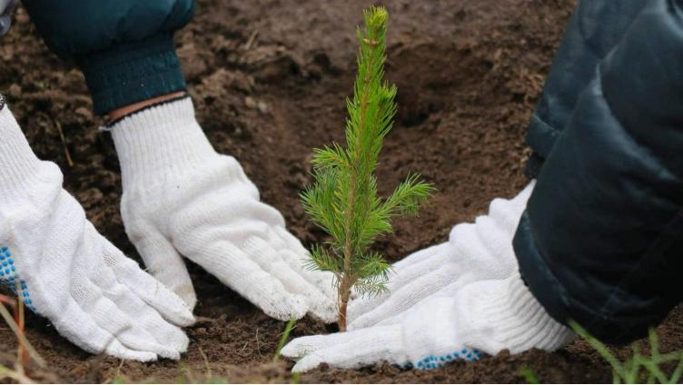 Леса на Вологодчине начнут на 100% восстанавливать?