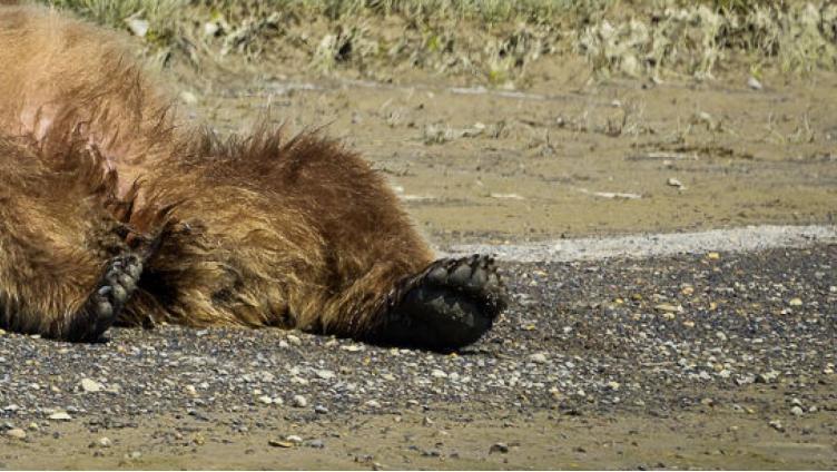 Под Вологдой насмерть сбили медвежонка
