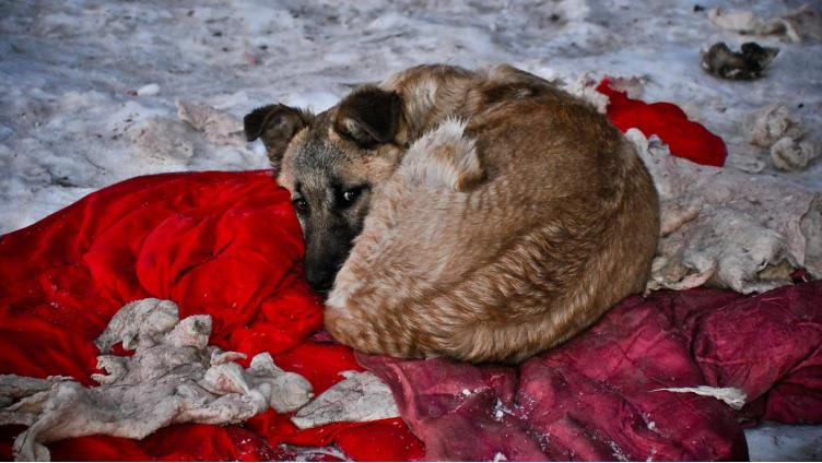 Догхантер признался в массовом убийстве собак в Вологде