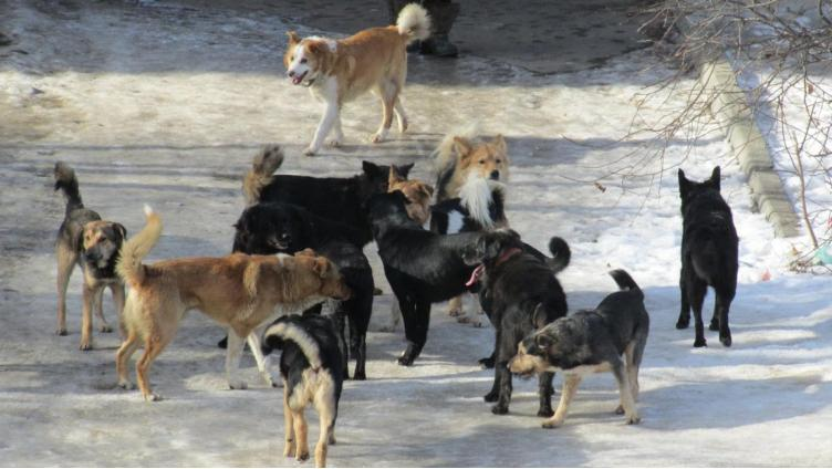 На вологодского подростка напала стая бездомных собак