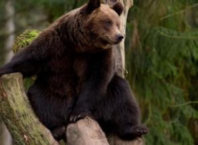 На Вологодчине до конца ноября продлится охота на медведей