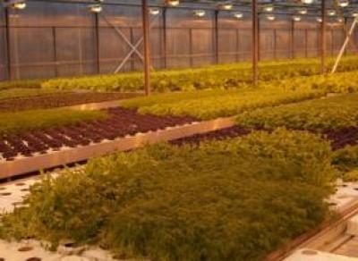 Под Череповцом запустили производство зелени и овощей