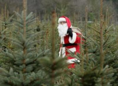 В Череповце с 15 декабря начнут продавать новогодние ели