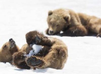 В Вологодской области нашли двух медвежат в разоренной берлоге