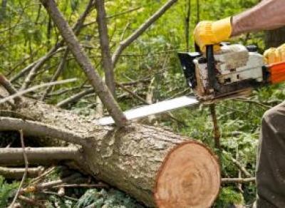 В Вологде хотят спилить около 250 деревьев
