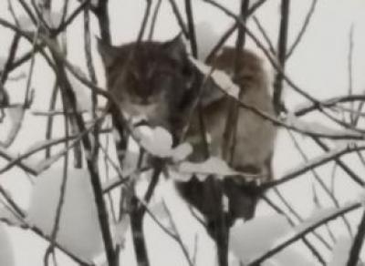 В центре Тотьмы на ветках деревьев отдыхала рысь