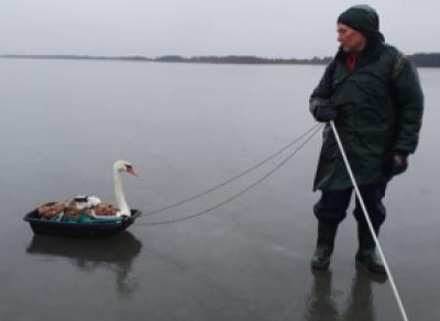 Череповецкий рыбак поймал лебедя
