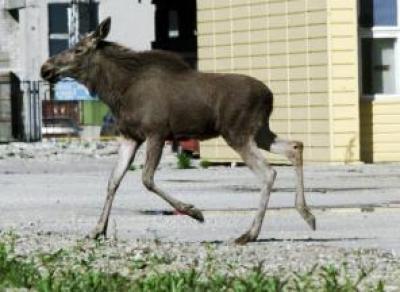 По Вологде бегал лось