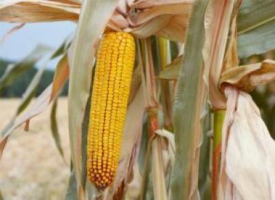 Устюжане начинают уборку первого урожая кукурузы