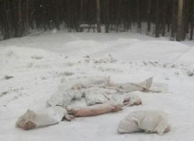 Мертвые свиньи валялись на вологодской трассе