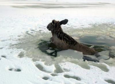 На Рыбинском водохранилище под лед провалился лосенок