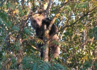 Под Вологдой застрелили медвежонка, вышедшего к людям