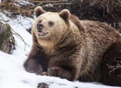 Медведи, гадюки и клещи проснулись на Вологодчине