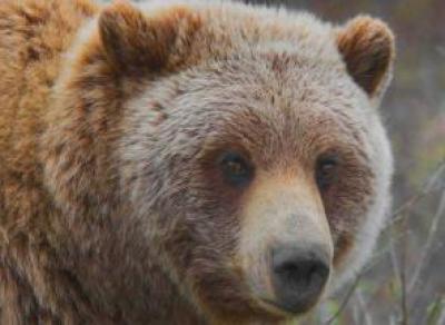 20 апреля на Вологодчине откроется охота не медведя
