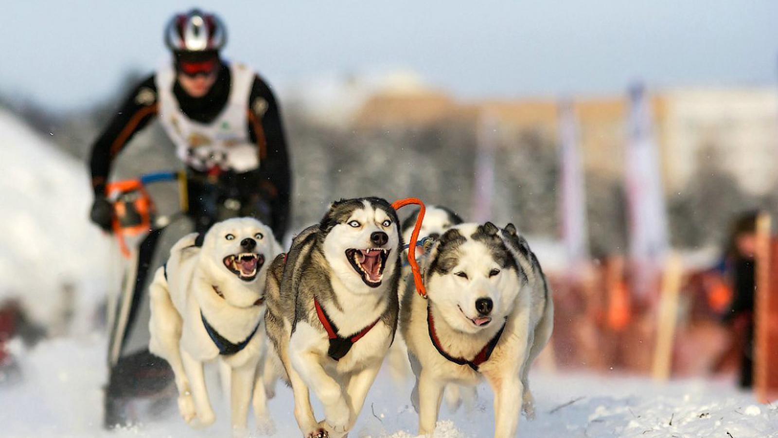 В эти выходные на Вологодчине пройдет этап Кубка мира по ездовому спорту на собачьих упряжках