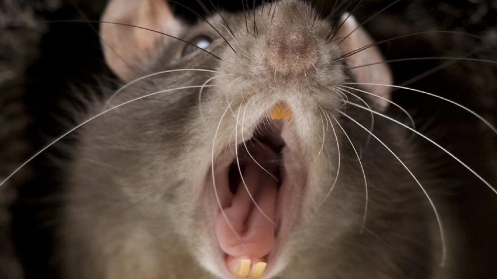 Крысы покусали вологодских третьеклассников