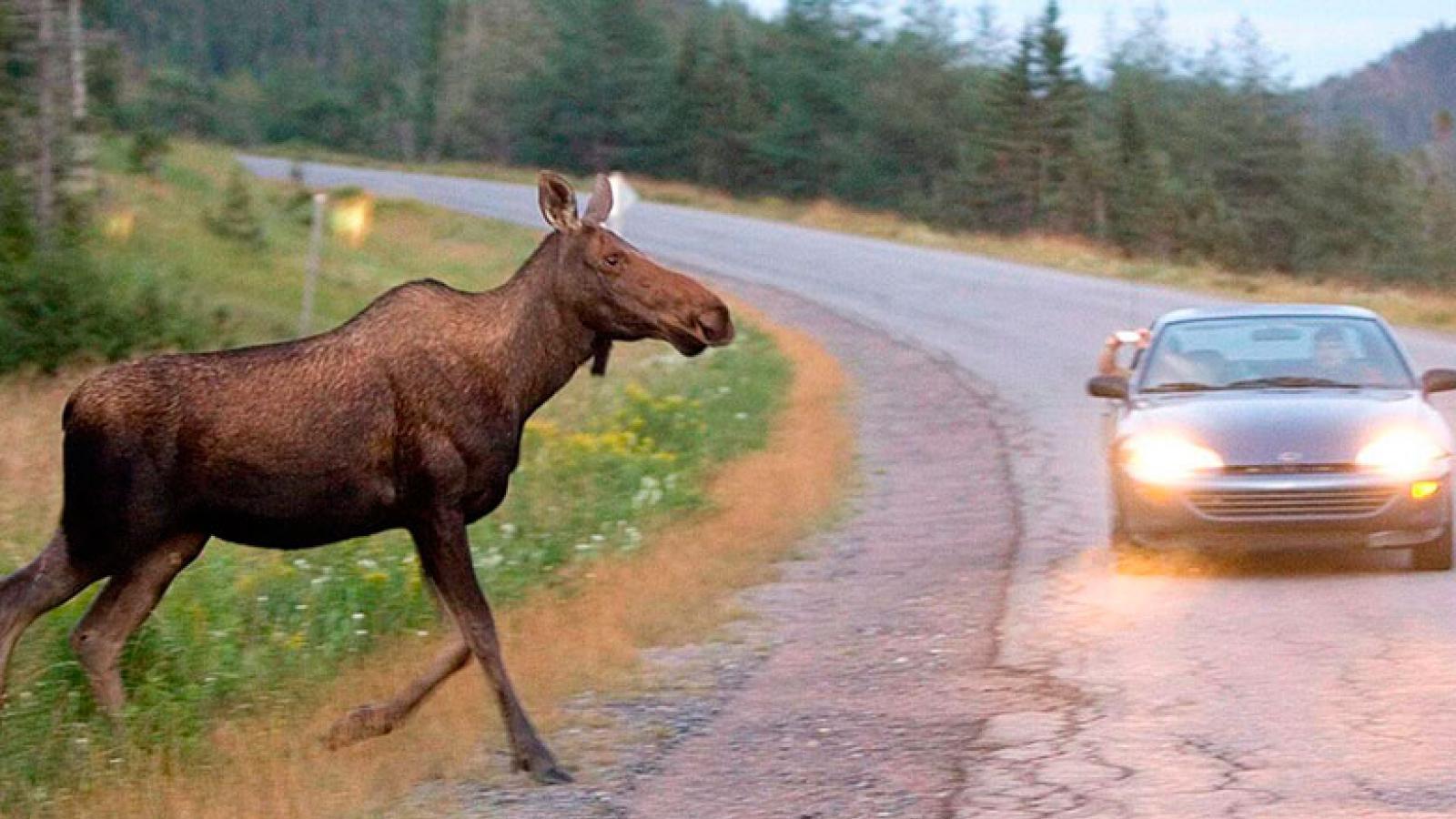 Лоси массово выходят на дороги
