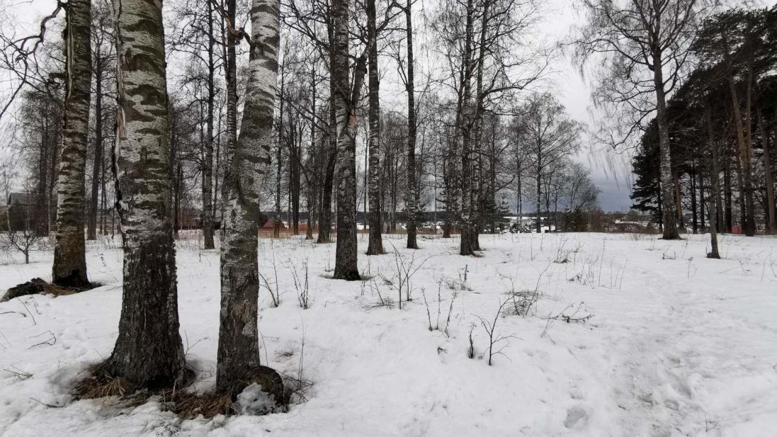 В Вологде появилась новая березовая роща