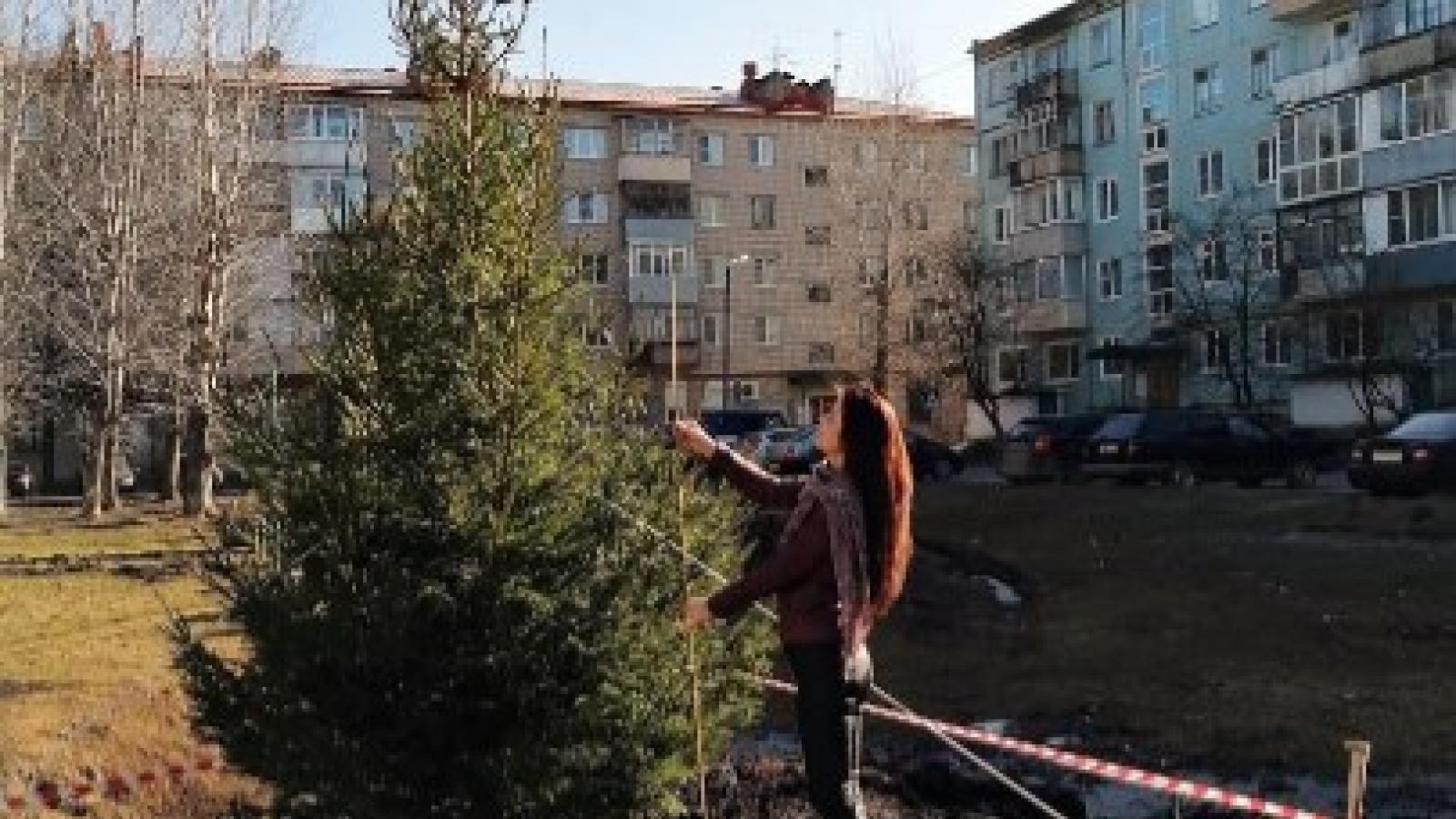 «Новогодние» ели высадили в Вологде