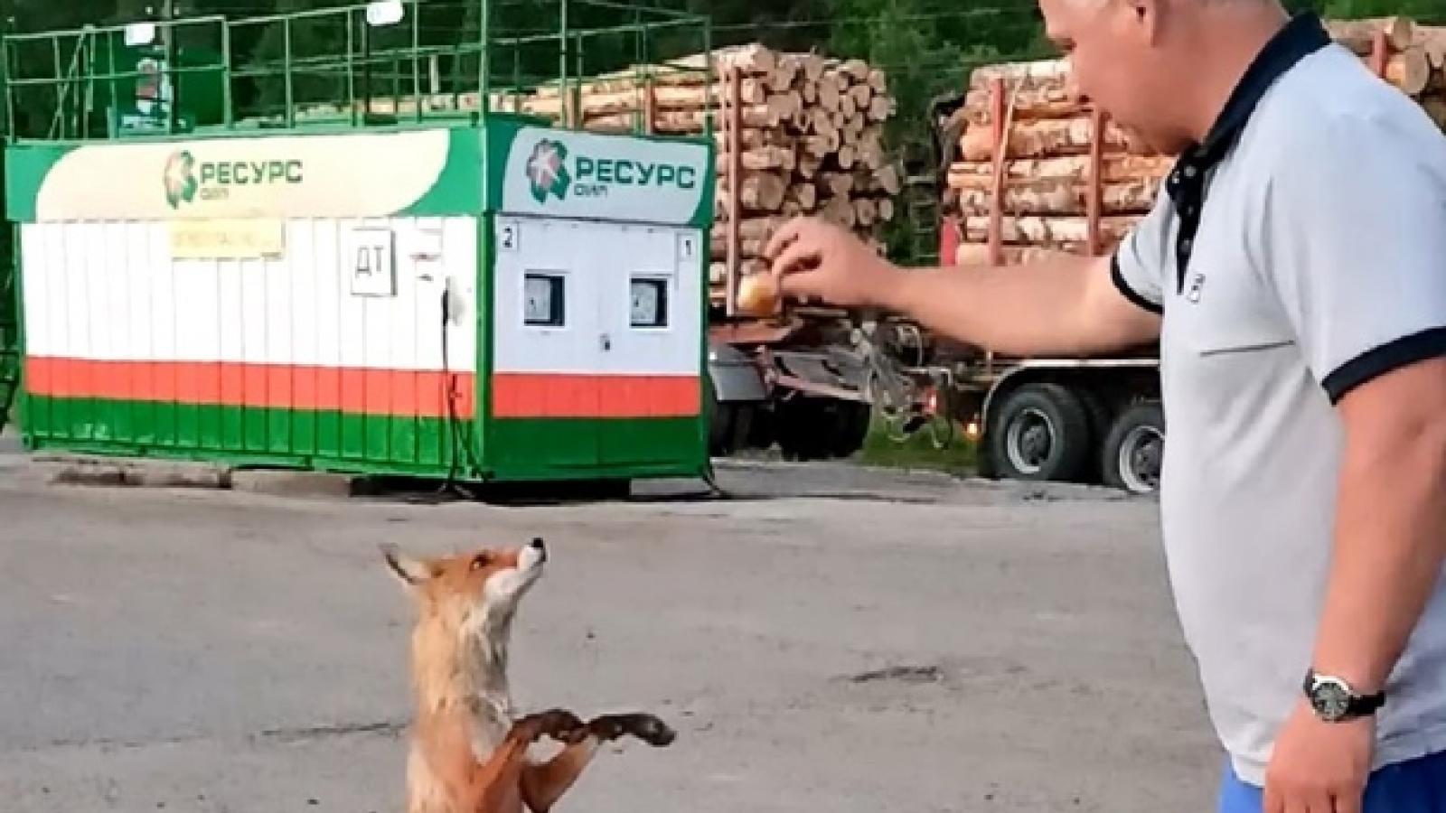 Лиса выпрашивает еду в Чекшино