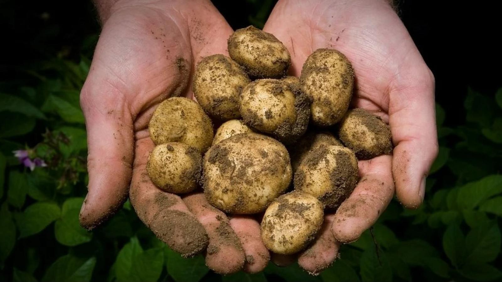 В области собрали мало зерна и картофеля