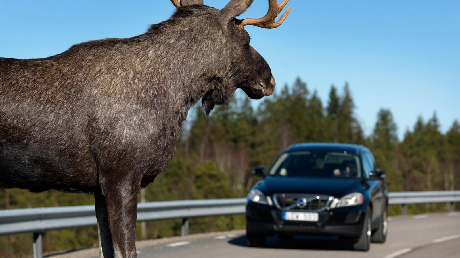 Водителей предупреждают об активизации лосей