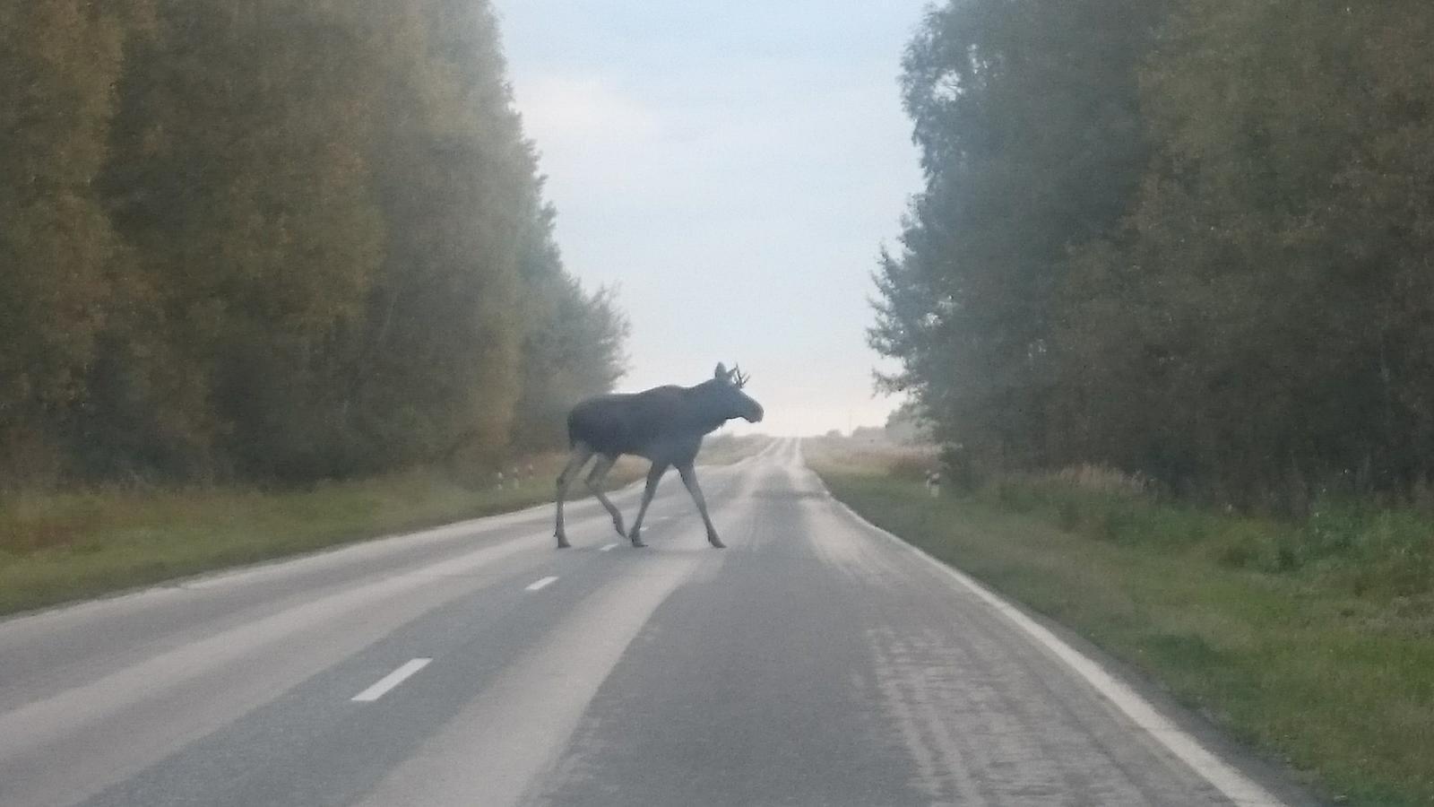 Череповчанин сбил лося на вологодской трассе