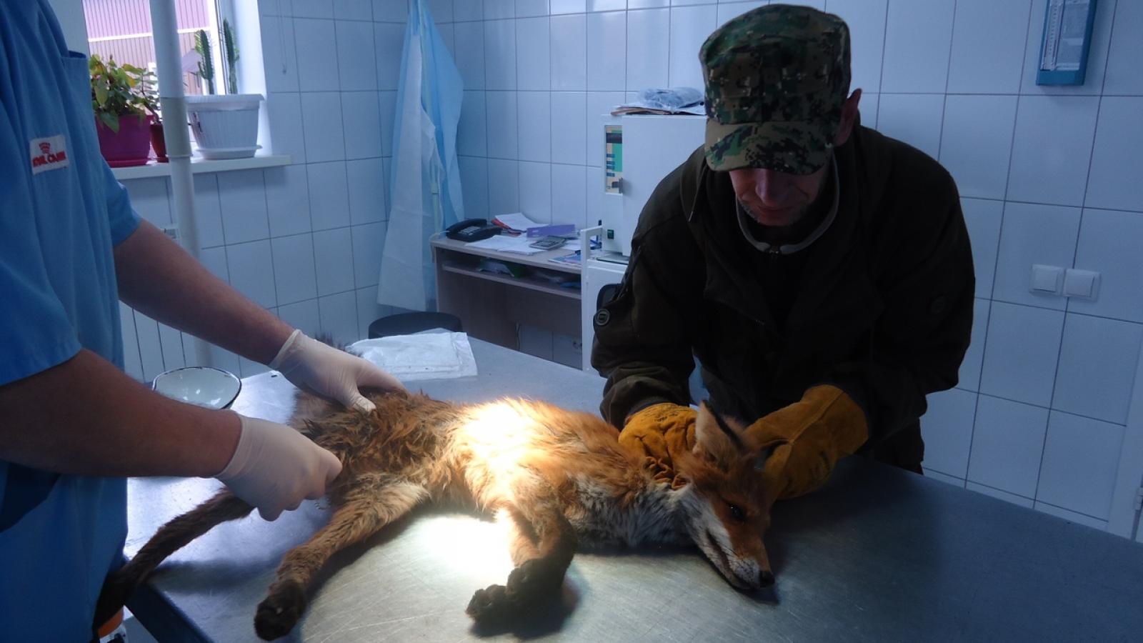 Череповецкий водитель спас сбитую лису