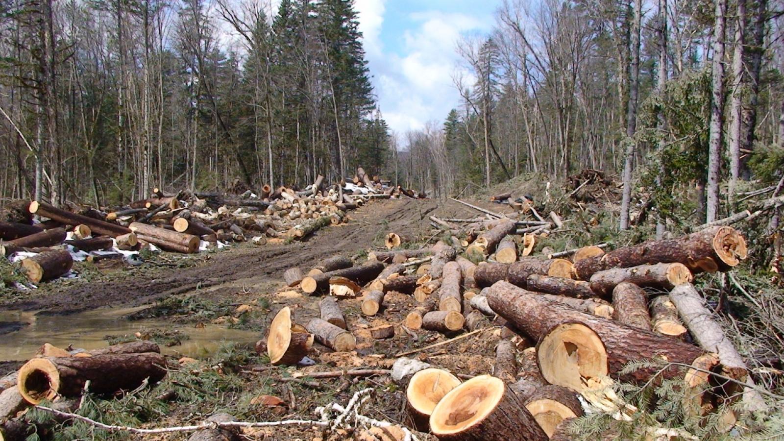 Вологжанин вырубил леса на 170 млн. руб.