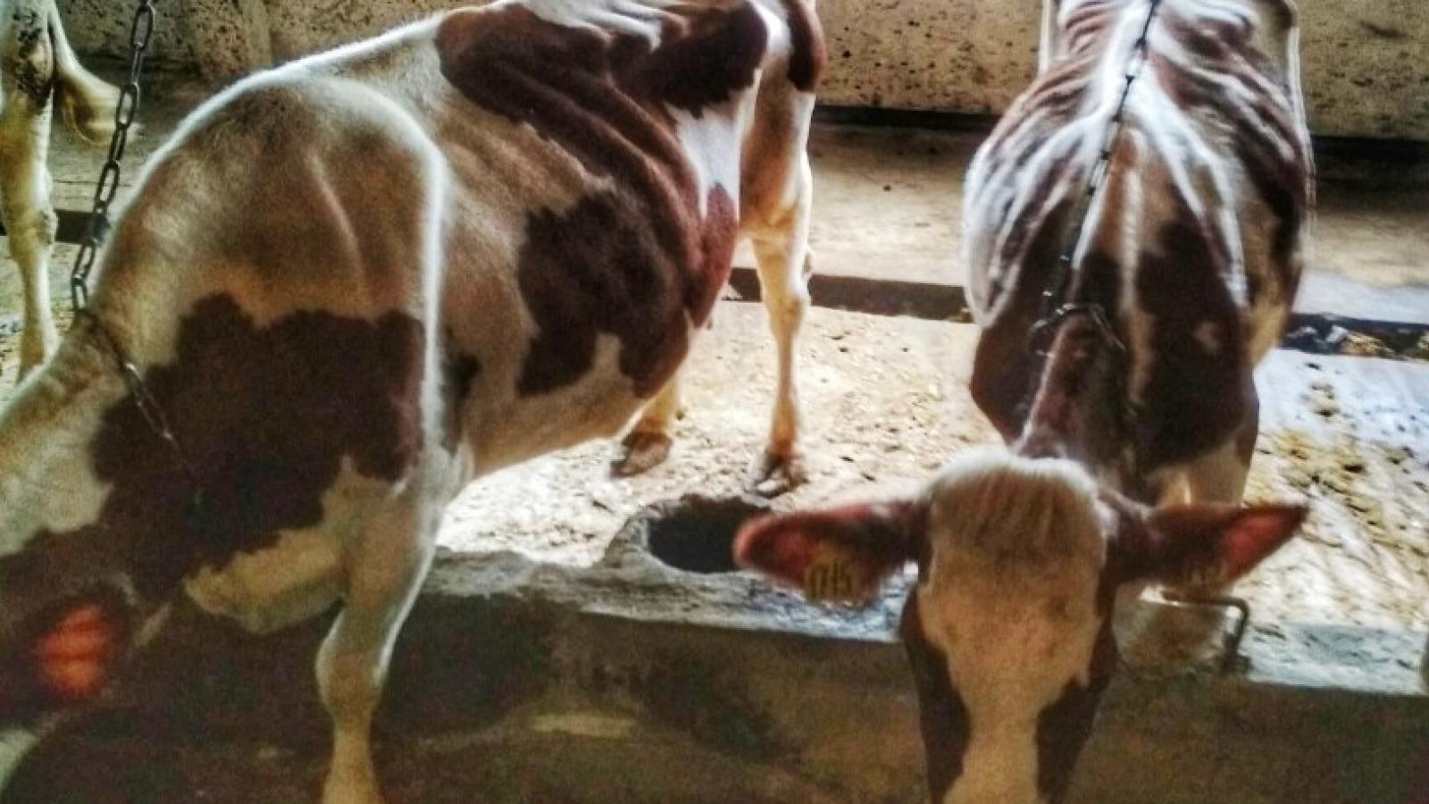 Коровы в Надеево снова голодают