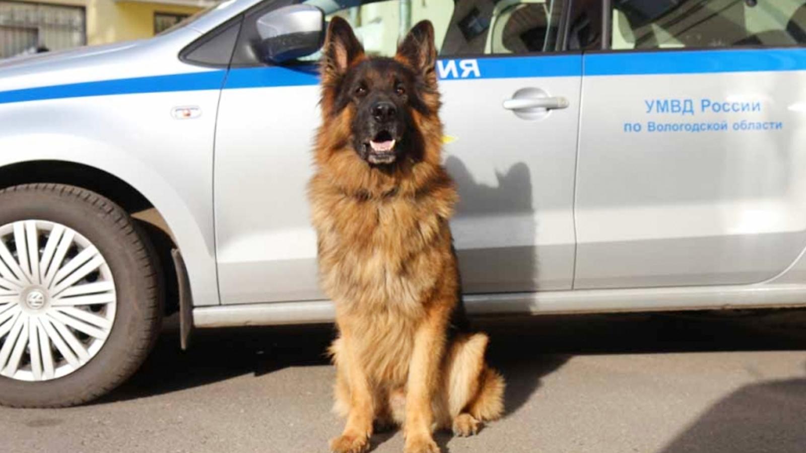 В Вологде полицейская овчарка помогла задержать грабителя