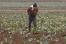 На племзаводе «Майский» опровергли сообщения о бесплатном сборе овощей