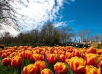 Акция «Посади тюльпан» стартовала в Вологде